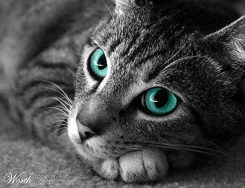 Brooktrickle: elder- silver tabby she-cat with blue eyes